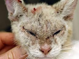 Пироплазмоз кошек