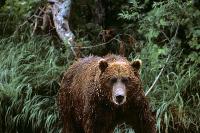 Охотоведы советуют при встрече с медведем кричать и топать