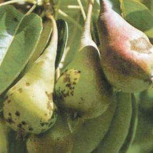 Парша плодовых деревьев