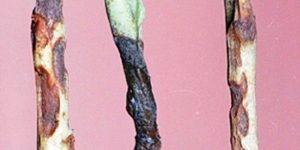 Черная ножка у рассады