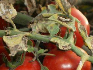Макроспориоз картофеля и томатов