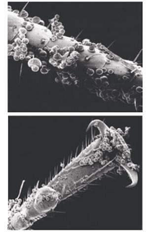 Микрокапсулы средства довольно хорошо налипают на хитиновые покровы клопов...