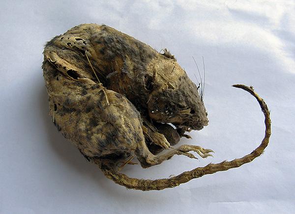 В доме нужно заделать все отверстия и щели - именно там чаще всего загнивают трупы мышей