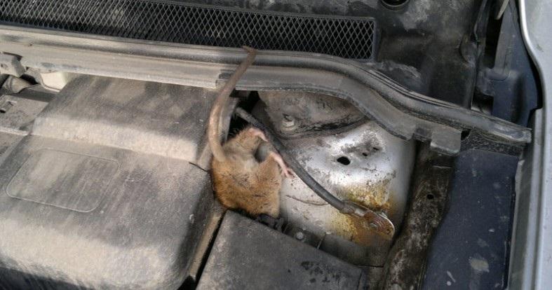 Мыша в машине - большая проблема для автомобилиста