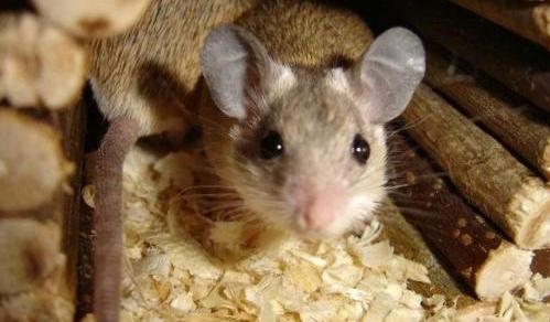 Завелась мышь, в доме