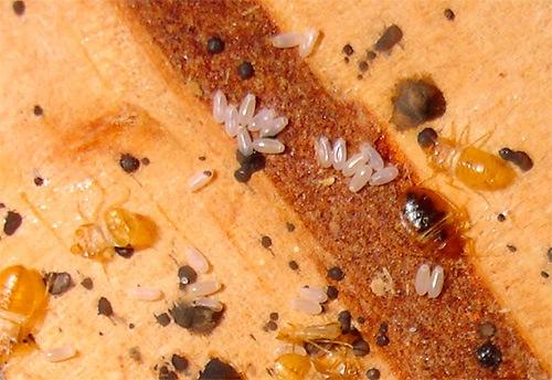 Яйца клопов и их личинки (нимфы)