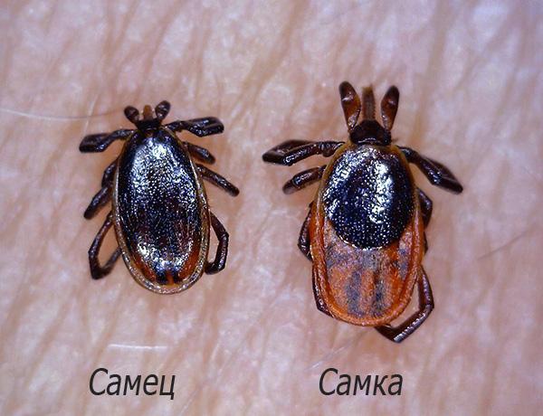На фотографии показаны самец и самка паразита