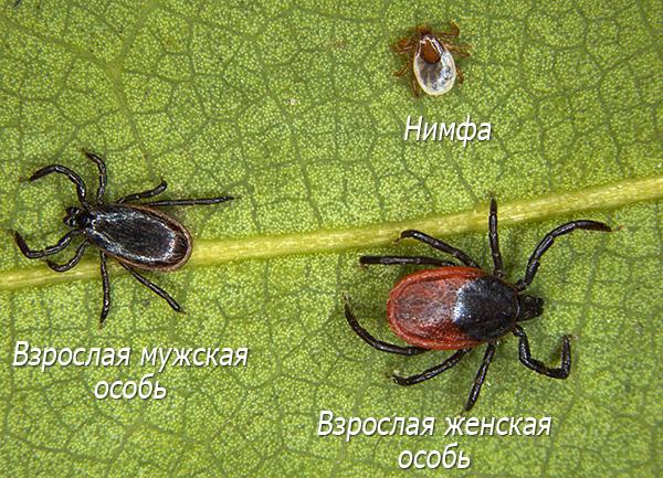 Самец, самка и нимфа клеща