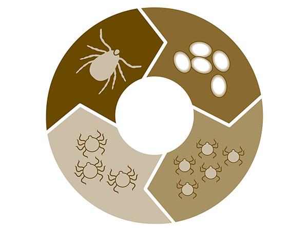 Жизненный цикл паразита от яйца до взрослой особи длится в среднем около 3 лет.