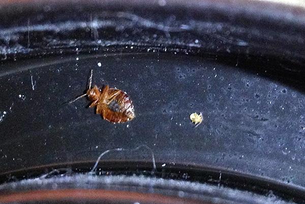 При наличии в доме обработанных инсектицидным средством поверхностей единичные особи клопов будут погибать, даже если попадут в квартиру, например, от соседей.
