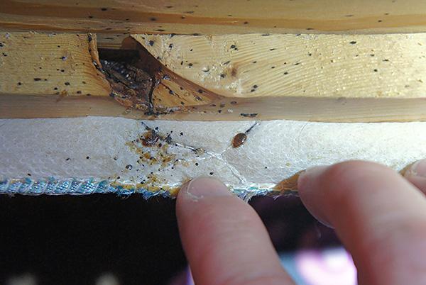 На фотографии показано гнездо клопов в диване.