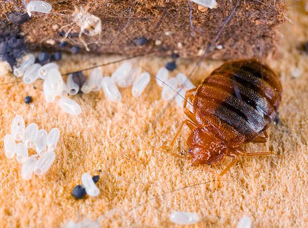 Попробуем разобраться, как правильно организовать профилактику от клопов в квартире, чтобы надежно защитить свое жилище от появления этих паразитов...