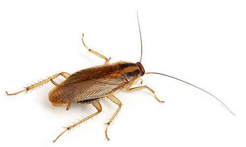 Тараканы не кусаю человека