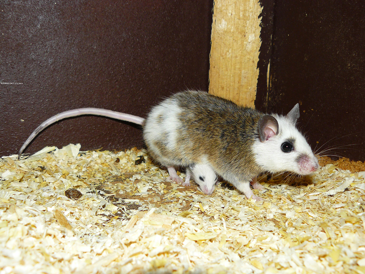 Мышь многососковая - обладает признаками и крыс, и мышей